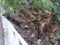Uprooted Tree in Empress Botanical Garden at Pune in India
