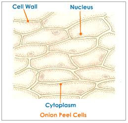 Biology help online: Learning on onion cells