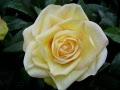 uma rosa na despedida