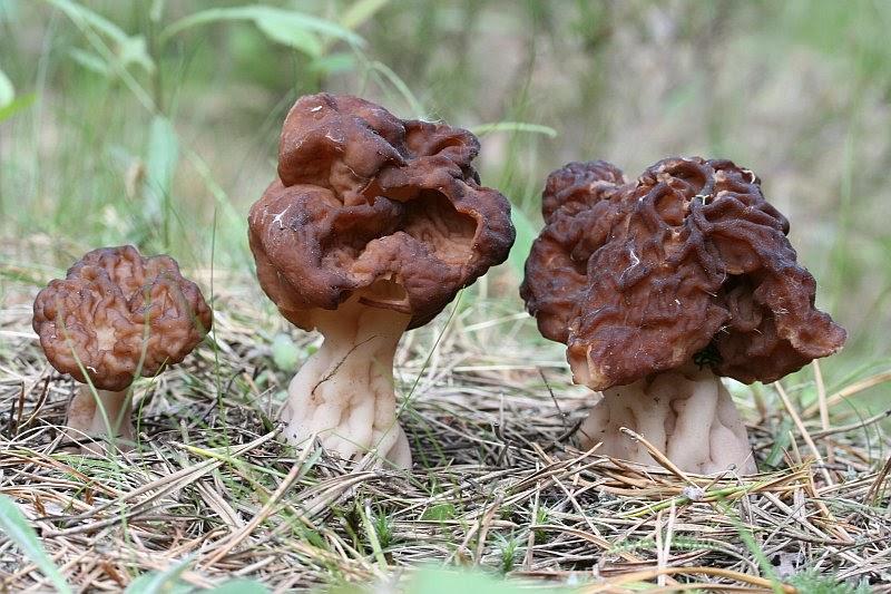 локтевым подмышечным показать фотографии грибов строчки и сморчки изображение