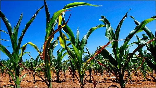[533-corn.jpg]