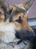 A German Shepherd called Hope