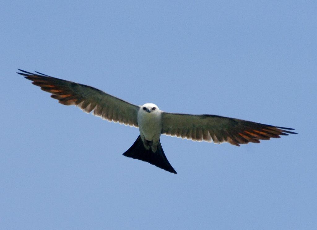 Ohio Birds And Biodiversity Mississippi Kite Nest