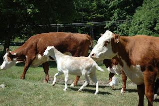 Visiting Cows