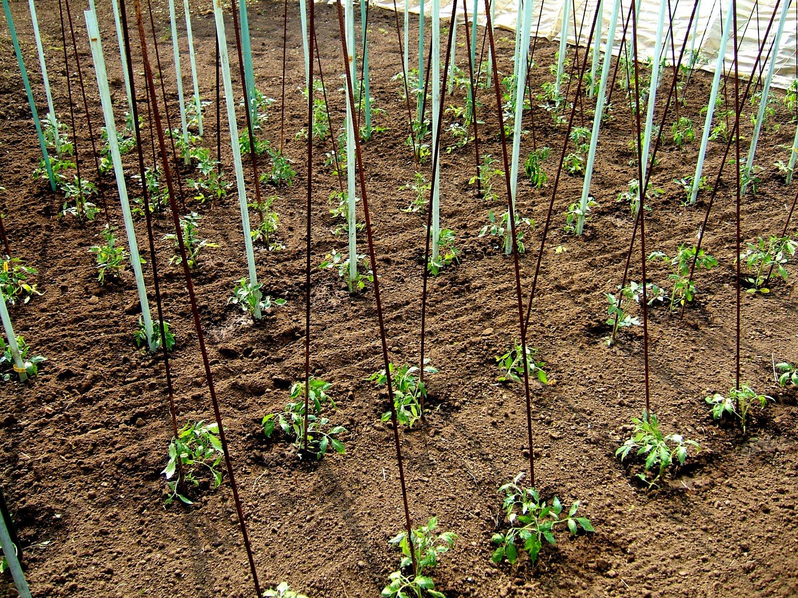 passion tomates a ce jour 301 pieds de tomates plant s. Black Bedroom Furniture Sets. Home Design Ideas