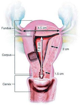 Endoscopia Ginecologica: Anatomia del utero