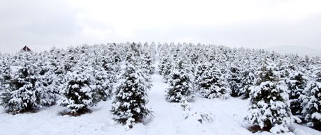 Christmas Tree Farms in New Hampshire
