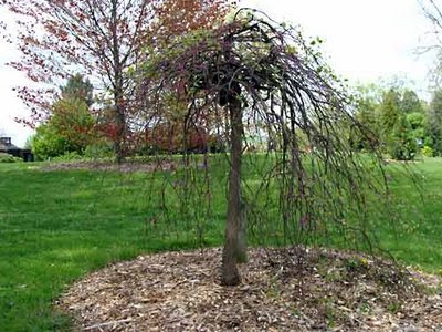weeping redbud tree
