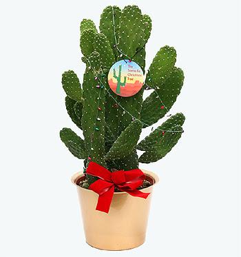 Santa Fe Christmas Tree, Opuntia falcata