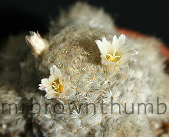 Mammillaria plumosa-Feather Cactus