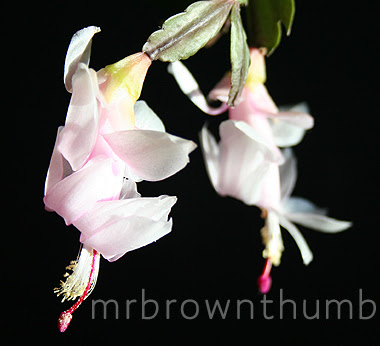 Thanksgiving Cactus Pink Flower