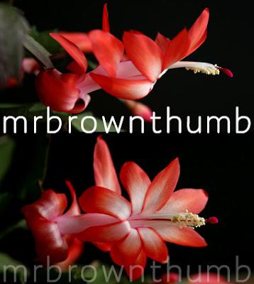 Thanksgiving Cactus Red Orange Flower