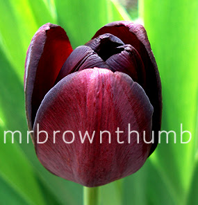 Tulip Queen of Night, black plants black flowers