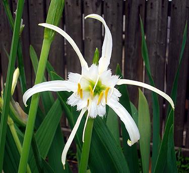 Peruvian daffodil flower