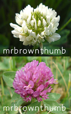 White Clover Red Clover