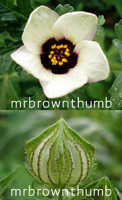 Hibiscus Trionum Flower-Of-An-Hour