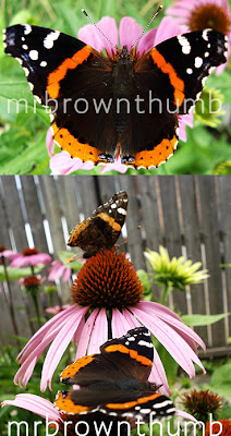 Vanessa atalanta 'Red Admiral' butterfly