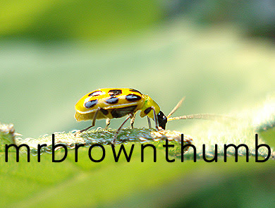 Spotted yellow cucumber beetle