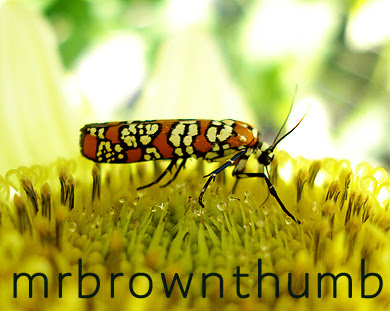 Atteva punctella-Ailanthus Webworm Moth in Chicago