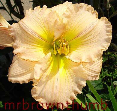Hemerocallis (day lily) 'Fairy Tale Pink'