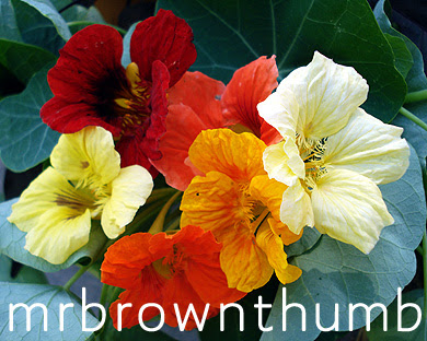 Nasturtium Jewel Mix Flowers