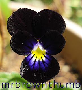viola cornuta bowles black, black violet