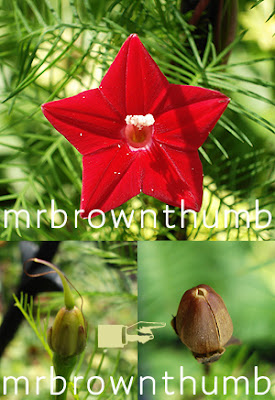 Cypress Vine flower pictures, Cypress Vine seed saving, ipomoea quamoclit