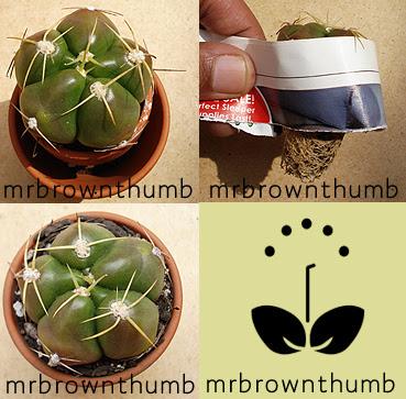 How I repot A Cactus