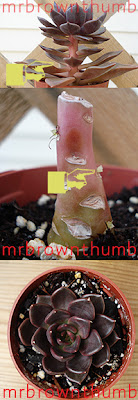 How To Propagate An Echeveria