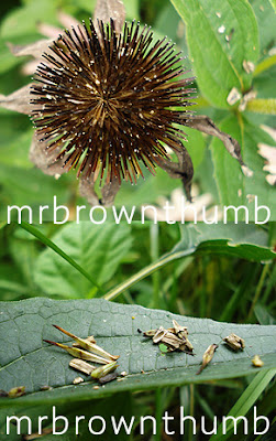 Purple Coneflower seed heads, Urban Gardening, Chicago Gardener
