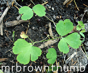 Columbine Seedling, Seedling Identification