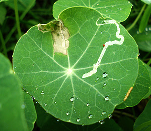 Leafminer bug damage on ornamental plant, Nasturtium