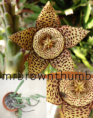 Orbea variegata, Starfish Cactus, Toad Cactus, Carrion Flower,Indoor gardening