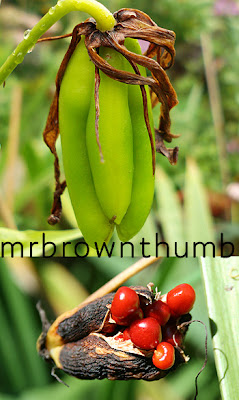 when i collect climbing lily seeds mrbrownthumb