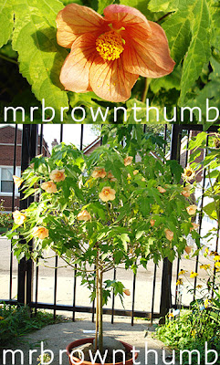 Flowering Maple, Standard Topiary, Urban Gardening, Easy Houseplant