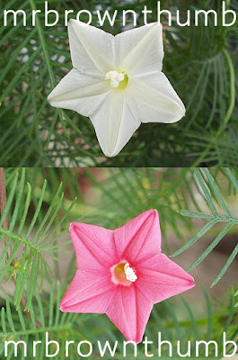 Pink And White Cypress Vine flowers, Ipomoea quamoclit, Cypress Vine Cardinal Vine, Urban Garden
