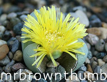 Argyroderma delaetii- Living Rock Plant, Stone Plants