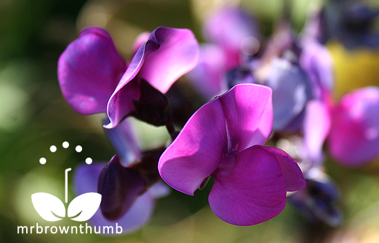 Hyacinth bean vine flower