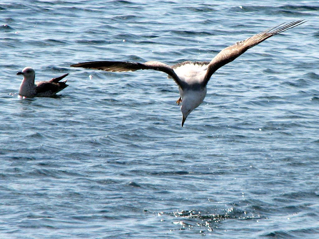 Seagull fishing, Livorno