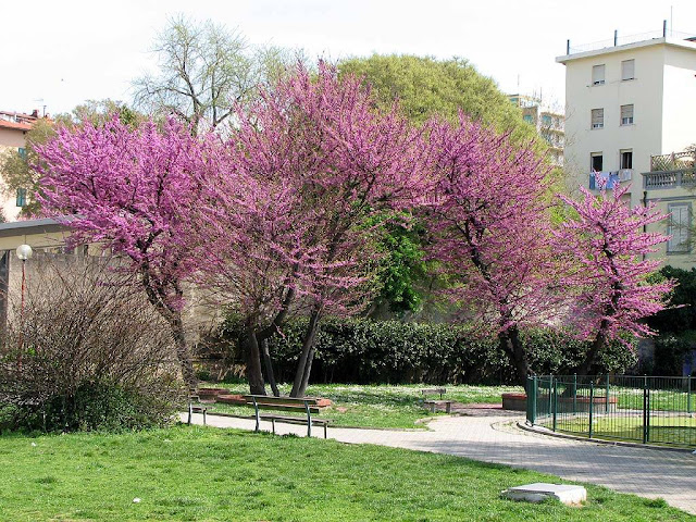 Judas Tree, City Center Park, Livorno