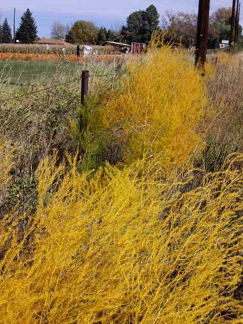 Boulder Fall Colors: Where Are the Wild Asparagus? Planting Asparagus In The Fall