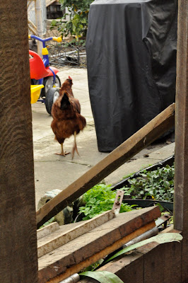 Looking through the drop-down door from the neighboring yard as Aunt Bea makes her way back to the chicken coop.