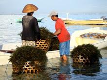 Nusa Penida Seaweed farmer