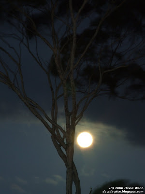 Full moon glowing behind a tree (eucalyptus / gum tree)
