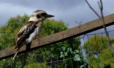 Australian Kookaburra Bird - Dacelo novaeguineae - Kookaburra after the Rain - Kookaburra sits in the old gum tree