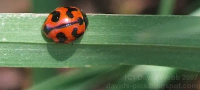 picture of a ladybug - (ladybird) photo - the insect close up
