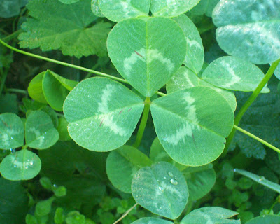 St. Patrick's Clover - Bright green three-leafed clover
