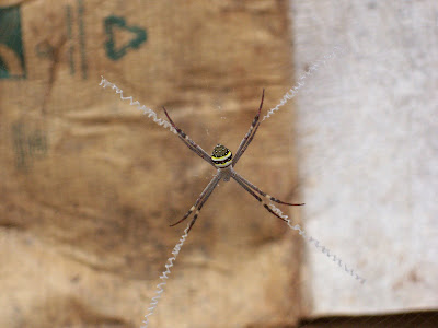st. andrew's cross spider sitting in web waiting for prey to approach