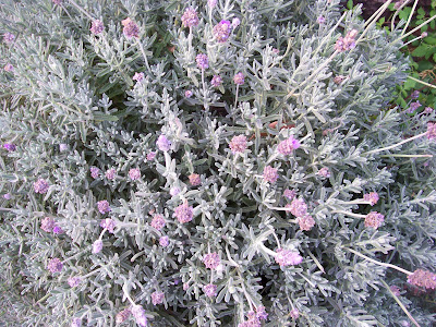 top-down view of a lavender bush with stems radiating from center