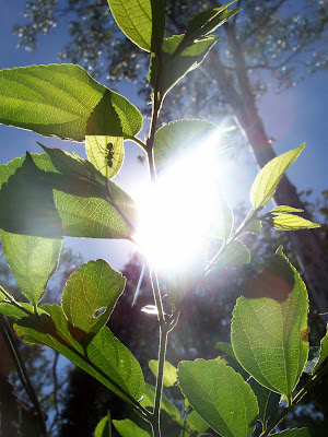sun shining through new green leaves with ant